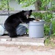Trash Bear